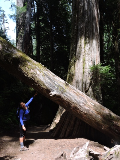 Red Cedar tree on the Grove of Patriarchs Trail in Mount Rainier Park