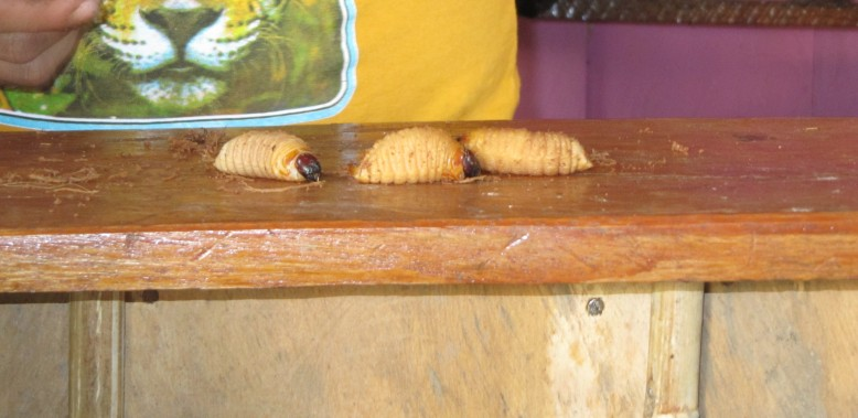 Suri: worm larvae that is a common treat in the region of Peru that falls within the Amazon.